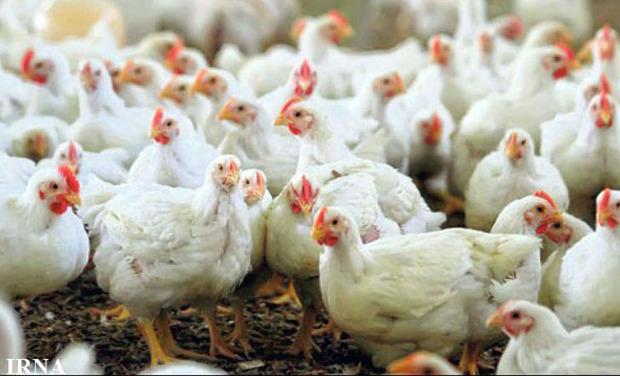 کامیونت حامل مرغ زنده قاچاق در زهک توقیف شد