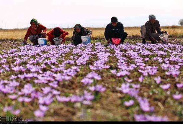 برداشت زعفران در خرم آباد آغاز شد