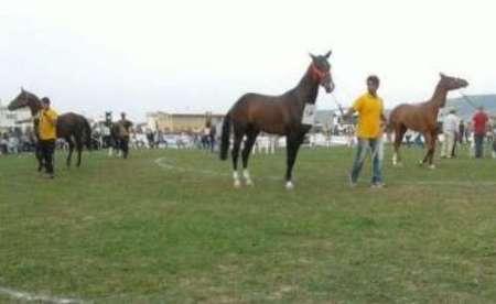 دوازدهمین جشنواره ملی زیبایی اسب ترکمن در کلاله گلستان آغاز شد