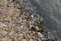 صدها کوسه ماهی تلف شده درساحل جزیره شیف بوشهر زنگ خطر برای انقراض نسل این آبزی