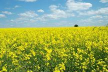 ۱۰۴ میلیارد ریال کلزای کشاورزان خراسان شمالی خریداری شد