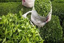برداشت برگ سبز چای از باغ های شمال  9درصد افزایش یافت