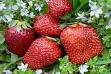 بیش از 45 هزار تن توت فرنگی از مزارع کردستان برداشت می شود