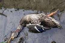 آنفلوانزای فوق حاد پرندگان تحت کنترل است