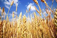 قیمت پایین گندم باعث کاهش تولید می شود