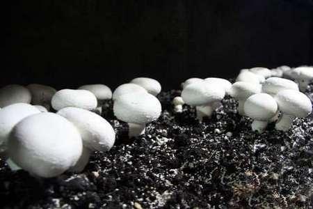 افزایش مسموم شدگان قارچ سمی