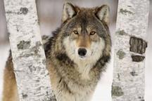 روستائیان مراقب حمله گرگ در فصل سرد سال باشند