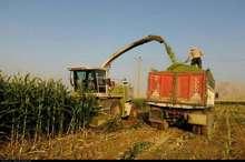 تولید ذرت علوفهای در شهرستان ری ۱۵ درصد افزایش یافت