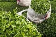 90کارخانه چایسازی برای خرید برگ سبز قرارداد بستند