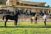 آغاز جشنواره زیبایی اسب های خالص ایرانی در شهر تفت یزد