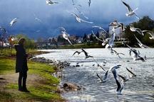رونق گردشگری با بازگشت کاکایی ها به رودخانه چشمه کیله تنکابن