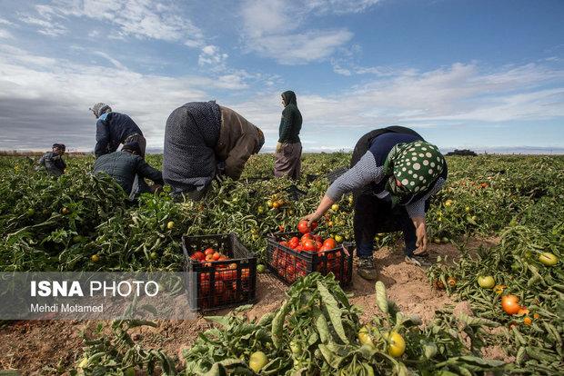 خرید گوجه از کشاورزان گلستانی با قیمت 700 تا 800 تومان!