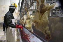 مصوبه ستاد تنظیم بازار، مرغ همدان را فراری داد