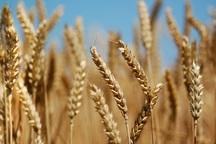 خودکفایی در تولید گندم از دستاوردهای انقلاب در کشاورزی است