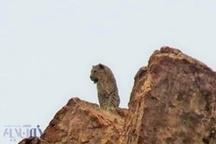 مسیر مهاجرتی یوزپلنگ آسیایی در  آران و بیدگل به پناهگاه حیات وحش ارتقا یافت