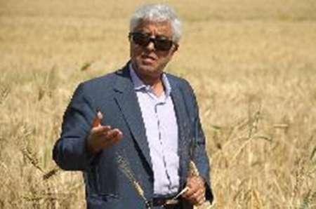 افزایش بهره وری در کشت گندم از مهمترین برنامه های وزارت جهاد کشاورزی است