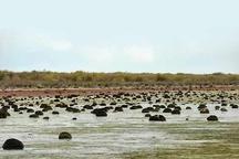 کاهش  پرندگان زمستان گذران در تالاب میانکاله