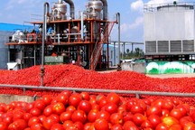 رقابت کارخانه های رب عامل افزایش قیمت گوجه فرنگی است