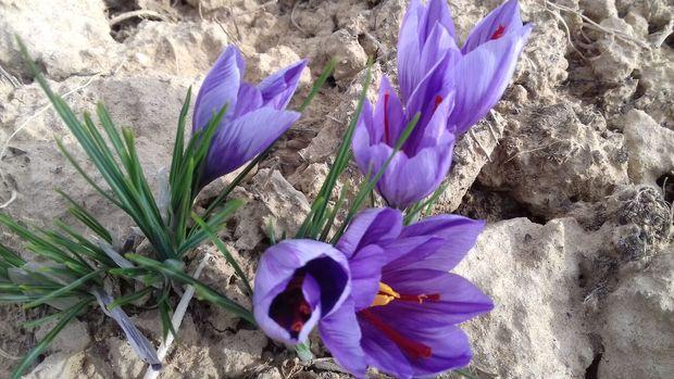 ۸۳۰ تن زعفران در استان سمنان تولید شد