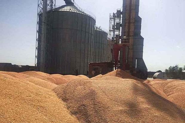 ذخیره گندم استان اصفهان بیشتر از نیاز است