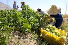 تولید ۴۰ هزار تن انواع انگور در منطقه حسن آباد یاسوکند