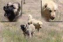 نجات مرد روستائی بابلسری از زیر دندان سگ های ولگرد
