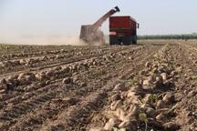 7200 تن چغندرقند از مزارع شهرستان بجنورد برداشت شد