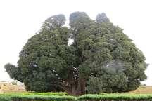 فرماندار: ترک خوردن درخت سرو 4500 ساله ابرکوه واقعیت ندارد  از شایعه سازان شکایت می شود
