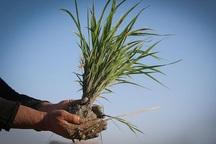 18 و نیم تن بذر برنج به شالیکاران آستارا توزیع شد