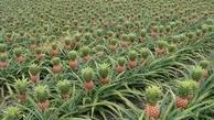 روش کاشت بوته آناناس در خانه
