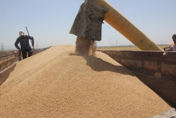 محصول 70 درصد مزارع غلات و کلزای استان البرز  برداشت شد