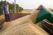 600 هزار تن گندم از مزارع استان اردبیل برداشت می شود