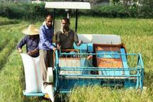 برداشت 505 تن برنج راتون از شالیزارهای شهرستان سیاهکل