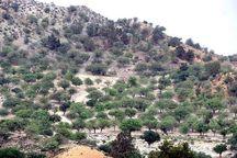 ۸۰ هزار اصله درخت در کرمان از گیاهان انگلی پاکسازی میشود