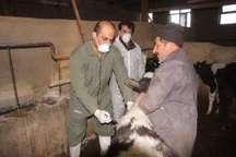 مرحله نخست مایه کوبی بیماری تب برفکی در کردستان آغاز شد