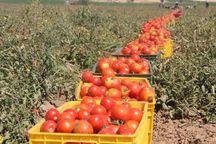 برداشت گوجه فرنگی امسال در دامغان ۹ هزار تن برآورد شد