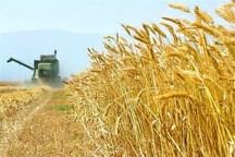 پیش بینی خرید130 هزار تن گندم در اهواز