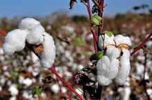 سالانه 700 تن بذر گواهی شده پنبه در بشرویه تولید می شود