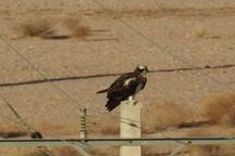 پرواز عقاب ماهیگیر در آسمان یزد عکس