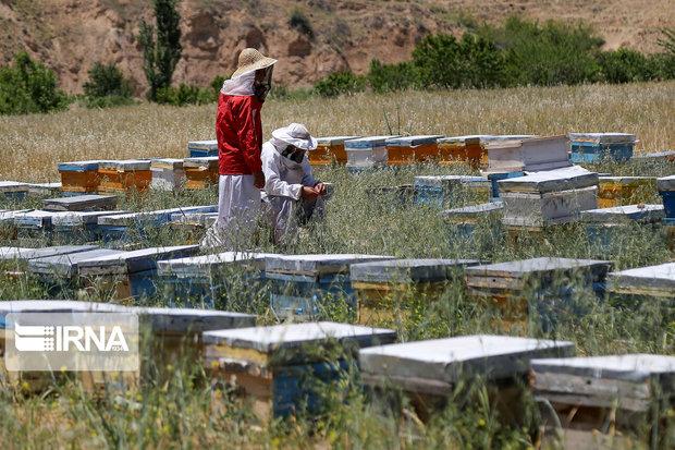 طرح سرشماری کلنیهای زنبور عسل در همدان آغاز شد