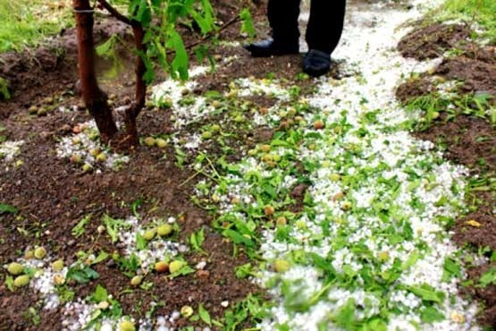 خسارت 81 میلیارد ریالی تغییرات اقلیمی، به بخش کشاورزی شهرستان هریس