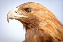 یک بهله عقاب طلایی در گناوه کشف شد