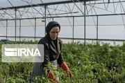 ۴۹ پروانه تاسیس گلخانه در مرودشت صادر شد