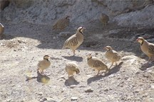 شکار پرندگان در خراسان شمالی ممنوع شد