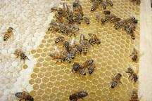 تولید عسل در استان یزد سه درصد کاهش یافت
