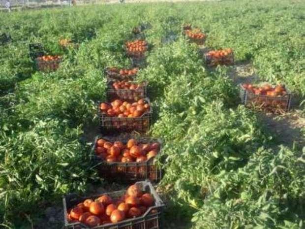 100هزارتن گوجه فرنگی در میناب برداشت می شود