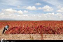 برداشت نخستین محصول کینوا از کشتزارهای خراسان شمالی آغاز شد