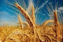 تولید 820 هزار تن گندم در اردبیل