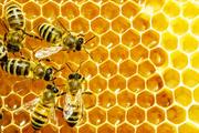 طرح سرشماری کلنی های زنبورعسل در نی ریز آغاز شد