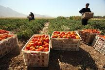 خرید ۲.۴ هزار تن گوجهفرنگی از کشاورزان سمنان تکمیل شد